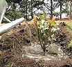 coltivare-rose