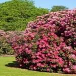immagine-rododendri-azalee