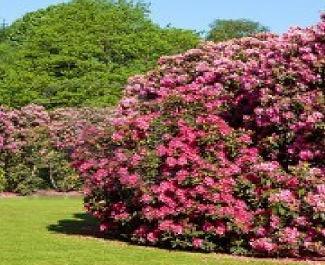 coltivare i rododendri e le azalee cura e manutenzione