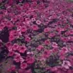 immagine-fiori-petunia