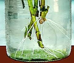 moltiplicazione-talea-in-acqua-